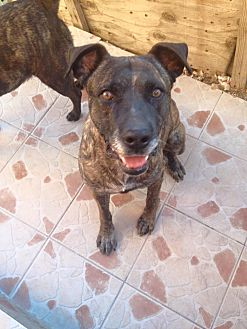 Labrador Retriever Mix Dog for adoption in San Diego, California - Pepe