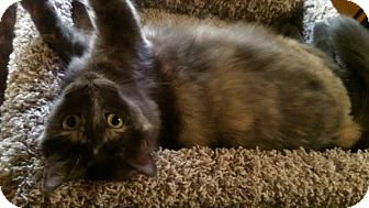 Maine Coon Cat for adoption in St Paul, Minnesota - Bella