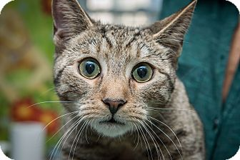 Domestic Shorthair Kitten for adoption in New York, New York - Ricky
