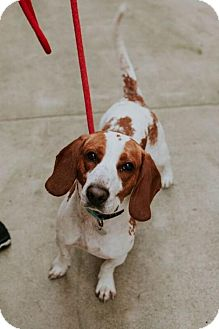 Beagle Dog for adoption in Chino Hills, California - Herman - Claremont