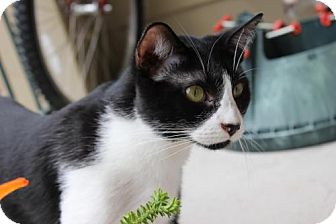 Domestic Shorthair Cat for adoption in Houston, Texas - Tipper