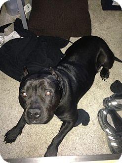 American Staffordshire Terrier Dog for adoption in San Diego, California - Sooki