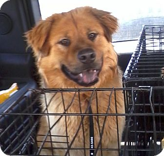 Chow Chow Mix Dog for adoption in Mira Loma, California - Chip