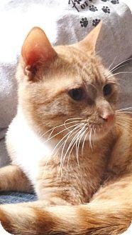 Domestic Shorthair Cat for adoption in St. Petersburg, Florida - Gilbert