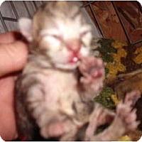 Adopt A Pet :: Peache's Kittens - Morris, PA