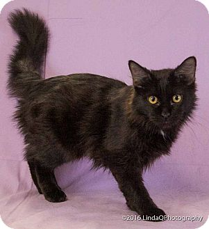 Domestic Longhair Cat for adoption in Las Vegas, Nevada - Zabrina