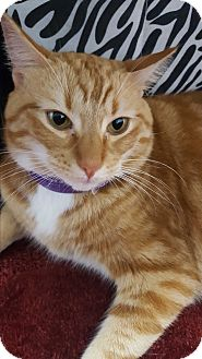 Domestic Shorthair Cat for adoption in Miami Shores, Florida - Milo