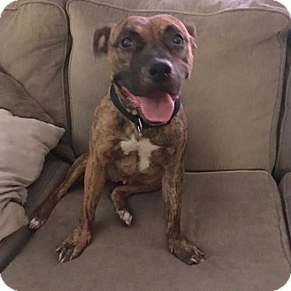 Boxer/Terrier (Unknown Type, Medium) Mix Dog for adoption in Franklinville, New Jersey - Arya