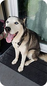 Siberian Husky Dog for adoption in Clearwater, Florida - Lillieth