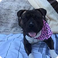 Pit Bull Terrier Mix Dog for adoption in LOS ANGELES, California - ALBIE (Courtesy Post)