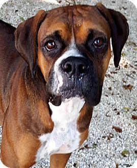 Boxer Mix Dog for adoption in Key Largo, Florida - Bart