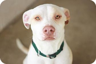 American Pit Bull Terrier Mix Dog for adoption in Kyle, Texas - FORD