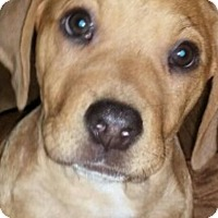 Adopt A Pet :: Katie's Puppy last boy - Pompton Lakes, NJ