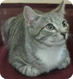 Domestic Shorthair Cat for adoption in Harrisburg, North Carolina - Nathan