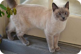 Siamese Cat for adoption in Franklin, North Carolina - Geneva