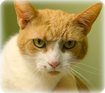 Domestic Shorthair Cat for adoption in Muskegon, Michigan - Cisco