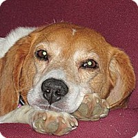 Adopt A Pet :: Rudy - Indianapolis, IN