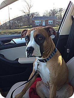 Boxer Mix Dog for adoption in Westminster, Maryland - Karma