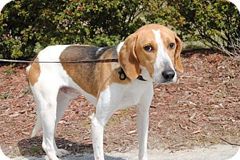 Treeing Walker Coonhound Mix Dog for adoption in Windsor, Virginia - Deuce