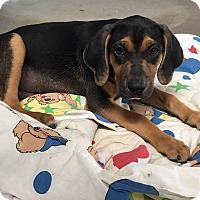Adopt A Pet :: Milo - Russellville, KY