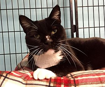 Domestic Shorthair Cat for adoption in Wilmington, Delaware - Simon
