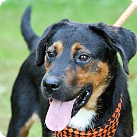Labrador Retriever/Rottweiler Mix Dog for adoption in Transfer, Pennsylvania - Marvin