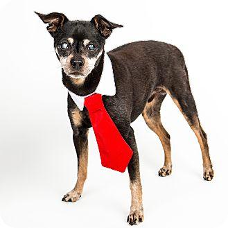 Miniature Pinscher Dog for adoption in Denver, Colorado - Dallas