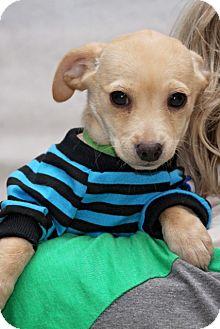 Schnauzer (Standard) Mix Puppy for adoption in Fort Atkinson, Wisconsin - Finn