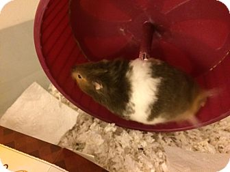 Hamster for adoption in Bensalem, Pennsylvania - Tigger