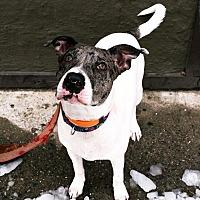 Adopt A Pet :: Sinatra - Ozone Park, NY