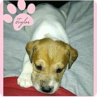 Adopt A Pet :: Taylor-ADOPTION PENDING - Des Moines, IA