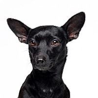 Dachshund/Chihuahua Mix Dog for adoption in Dana Point, California - Lucy