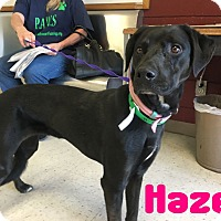 Labrador Retriever Mix Dog for adoption in Mesa, Arizona - HAZEL 2 1/2 YR LAB FEMALE