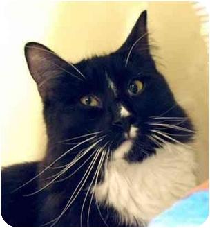 Domestic Longhair Cat for adoption in Plainville, Massachusetts - Newport