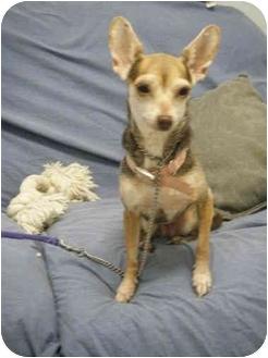 Chihuahua Dog for adoption in Milwaukee, Wisconsin - Cheena