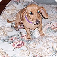 Adopt A Pet :: Cookie - Conway, AR