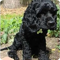 Adopt A Pet :: Cosby - Sugarland, TX