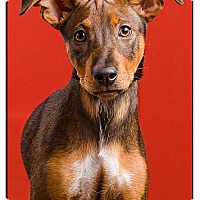 Adopt A Pet :: Nyla - Owensboro, KY