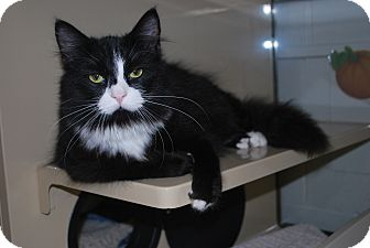 Domestic Longhair Cat for adoption in New Castle, Pennsylvania - Brody