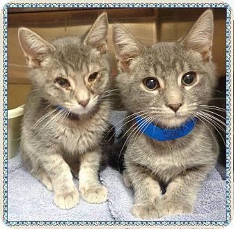 Domestic Shorthair Kitten for adoption in Marietta, Georgia - BRUNO AND ADAM