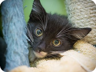 Domestic Shorthair Kitten for adoption in Los Angeles, California - Harlem