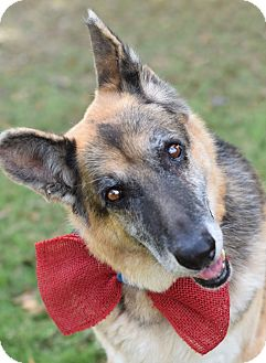 German Shepherd Dog Mix Dog for adoption in Denver, Colorado - Roady