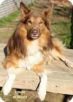 Collie Mix Dog for adoption in Camden, Delaware - Fergus