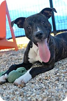 American Pit Bull Terrier Mix Puppy for adoption in New Orleans, Louisiana - Dodger