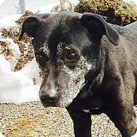 Labrador Retriever Dog for adoption in Port Jervis, New York - Leah