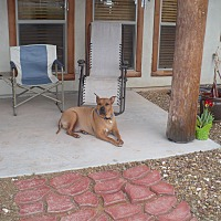 Adopt A Pet :: Big Boy - dewey, AZ