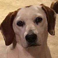Adopt A Pet :: Duchess - Allentown, PA