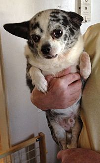 Chihuahua Dog for adoption in Indianapolis, Indiana - Cooper