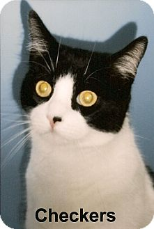 Domestic Shorthair Cat for adoption in Medway, Massachusetts - Checkers