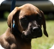 Boxer/Hound (Unknown Type) Mix Puppy for adoption in Plainfield, Connecticut - Boone
